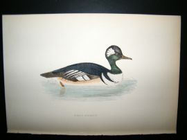 Morris 1870 Antique Hand Col Bird Print. Hooded Marganser